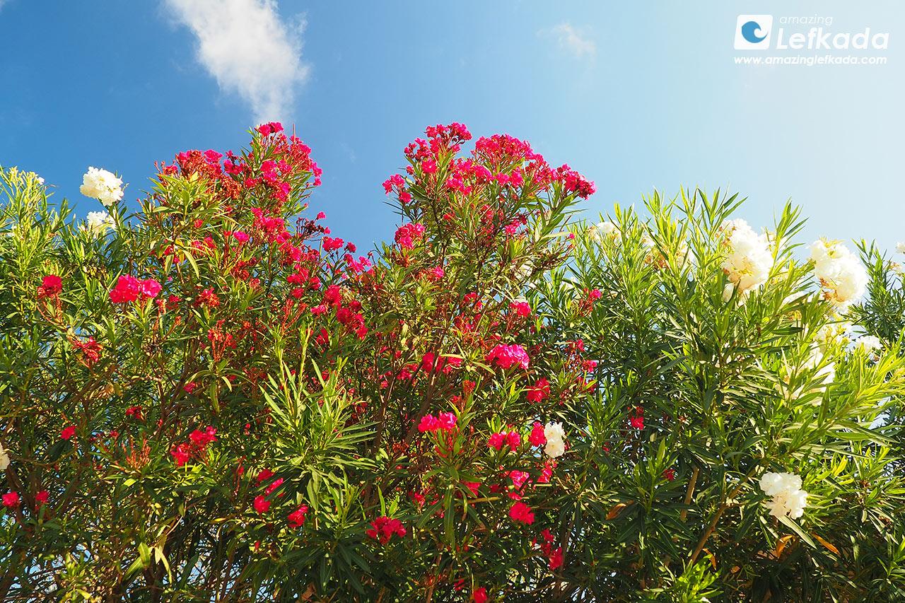 Flowers of Lefkada